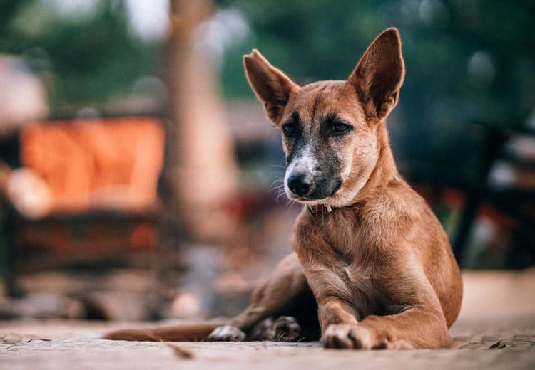 idos kutya