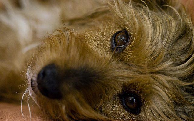 immunerosito kutyaknak