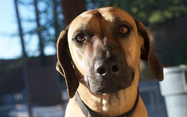 kutya porcerosito